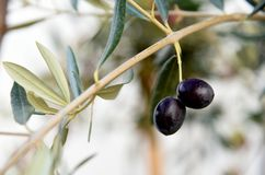 成熟在分支的橄榄 库存照片