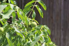 成熟在叶子中的一棵树的核桃,但是仍然绿化 菜蛋白质和健康油脂的来源 孩子的一种款待 免版税库存照片