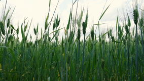 成熟在夏天微风的领域的麦子 股票录像