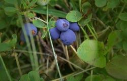 成熟在布什的新鲜的被遮蔽的蓝莓 库存图片