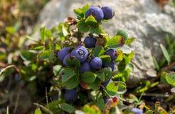 成熟在布什的新鲜的被遮蔽的蓝莓 图库摄影