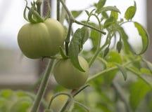 成熟在庭院蕃茄 库存图片
