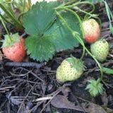 成熟在庭院里的草莓 图库摄影