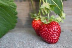 成熟在摊铺机的庭院墙壁的水多的草莓走 图库摄影