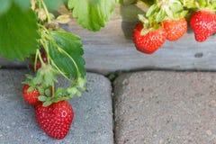 成熟在摊铺机走道的藤的水多的草莓 免版税库存图片
