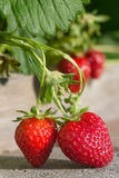 成熟在早晨太阳的Stawberries 免版税库存图片