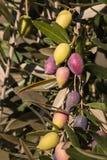 成熟在树的卡拉迈橄榄 免版税库存照片