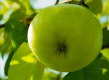 成熟在树的成熟水多的鲜绿色的苹果在庭院里 库存图片
