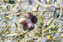 成熟在树的黑橄榄 免版税图库摄影