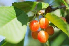 成熟在樱桃树关闭的有机甜樱桃,晴天 免版税库存图片