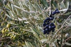 成熟在橄榄树的黑和绿橄榄 库存照片