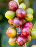成熟在泰国的北部的树的咖啡豆 免版税库存照片