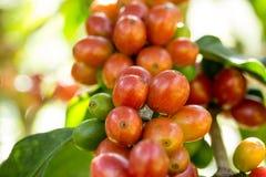 成熟在泰国的北部的树的咖啡豆 免版税图库摄影