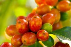 成熟在泰国的北部的树的咖啡豆 库存照片