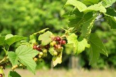 成熟在灌木的红浆果特写镜头  免版税图库摄影