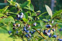 成熟在灌木的蓝莓 库存图片
