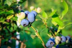成熟在灌木的蓝莓 免版税库存照片