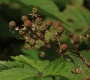 成熟在灌木的黑莓 库存图片