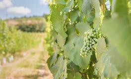 成熟在葡萄园里的绿色葡萄在夏天 免版税库存图片