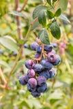 成熟在蓝莓灌木的有机蓝莓 免版税库存图片