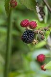 成熟在藤的黑莓 图库摄影