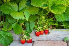 成熟在藤的水多的草莓在庭院里 免版税库存图片