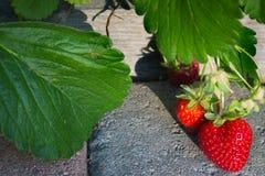 成熟在阳光下在摊铺机走道的水多的草莓 免版税库存照片