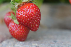 成熟在阳光下在走道的Lucious stawberries 库存图片