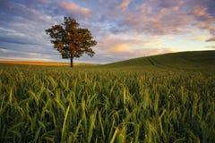 成熟在领域的日落期间的五谷 免版税库存照片