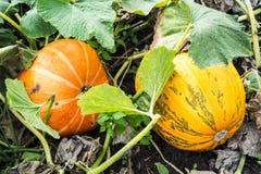 成熟大南瓜在庭院里 免版税库存图片