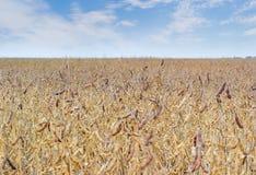 成熟大豆的领域反对天空的 免版税库存图片