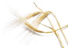 成熟大麦或黑麦,大麦的耳朵,隔绝在白色 库存照片