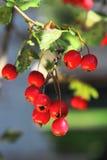 成熟山楂树在秋天 库存照片
