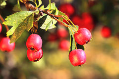 成熟山楂树在秋天 免版税库存图片
