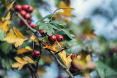 成熟山楂树果子在秋天 库存图片
