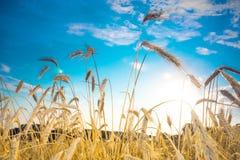 成熟峰值麦子 免版税库存图片