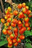 成熟干果子: Pejibaye 库存图片