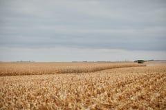 成熟干玉米的部分地被收获的领域 免版税库存图片