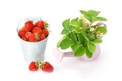 成熟庭院草莓 免版税图库摄影