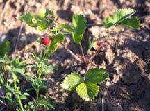 成熟开胃草莓在地面增长 库存照片