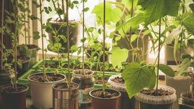 成熟新鲜和绿色糖荚豌豆特写镜头准备好攀登种植的收获棍子在一个自然本地出产的svegetable庭院里 股票视频