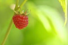 成熟新鲜的莓 免版税库存照片