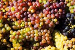 成熟时段的葡萄 库存照片