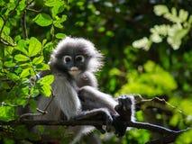 成熟暗淡的叶子猴子坐分支 免版税库存照片