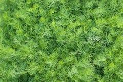 成熟有机绿色莳萝,特写镜头,背景 库存图片