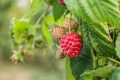 成熟有机莓,生长在分支 免版税库存照片