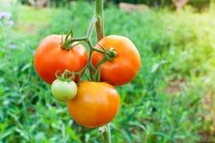 成熟有机蕃茄在准备好的庭院里收获 图库摄影