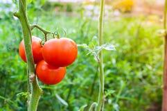 成熟有机蕃茄在准备好的庭院里收获 免版税库存图片