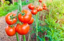 成熟有机蕃茄在准备好的庭院里收获 免版税图库摄影
