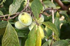 成熟木瓜 免版税库存图片